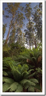 The rainforest on the way into the Otway Ranges near Melba Gully