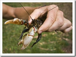 A Freshwater Crayfish out of the Howqua River