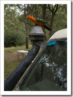 A male Crimson Rosella at our campsite at Noonans Flat