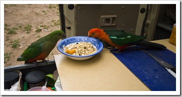 A pair of Crimson Rosellas taking a liking to Chris's breakfast at our campsite at Noonans Flat