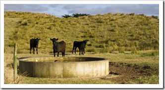 Grant's cattle on King Island