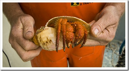 A hermit crab pulled up in one of the deep crayfish pots
