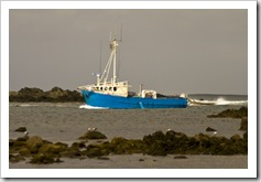 Kingfisher coming into Currie harbour
