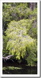 A 60 year old Huon Pine