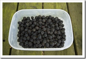 A plethora of fresh blackberries around our campsite at Lilydale Falls