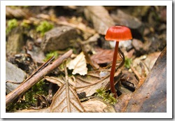 A lone mushroom in Evercreech Forest