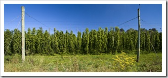 Hops near New Norfolk