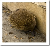 A curious echidna near Fluted Cape