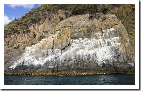 A huge cormorant nesting area on the cliffs near Fluted Cape