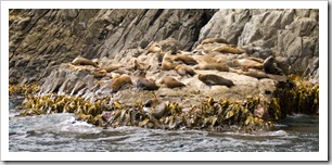 Australian Fur Seals near Tasman Head