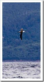 A lone Albatross cruising near Mangana Bluff