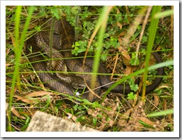 The supremely venomous Tiger Snake near Sealers Cove