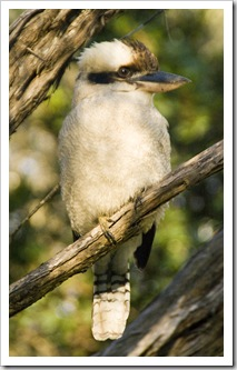 A Kookaburra at our campsite