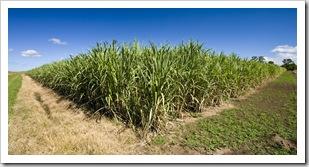 Sugarcane plantations near Yamba