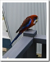 A Crimson Rosella at Lake Conjola