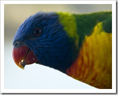 Rainbow Lorikeets at Lake Conjola