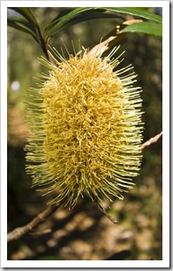 Banksia in Barrington Tops National Park