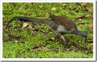 A lyrebird at Gloucester River campsite