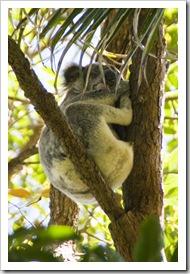 A sleepy koala in Noosa National Park
