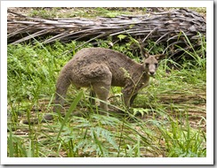 A male kangaroo munching beside Carnarvon Creek
