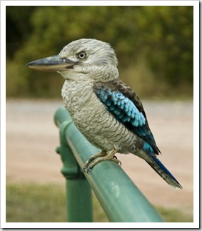 A beautiful (and quite friendly) Eastern Blue-Winged Kookaburra