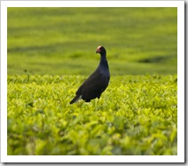 Swamp Hen walking on top of the tea plantations at Nerada