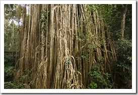 The Curtain Fig Tree in Curtain Fig National Park