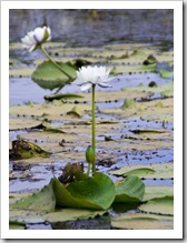 Picturesque White Lily Lagoon