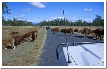 Cattle crossing on one of the station's leading into Carnarvon Gorge