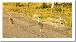 Australian Bustards in the early morning on the way into Carnarvon Gorge