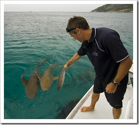 Tawny Nurse Sharks in for the daily feeding in Anchor Bay