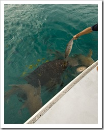 Tawny Nurse Sharks and the resident Queensland Groper in for the daily feeding in Anchor Bay