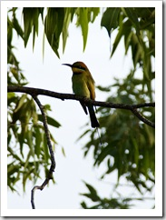 A beautiful Rainbow Bee-Eater outside our window