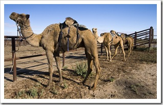 The Bedourie Camel Races