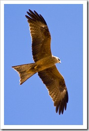 Whistling Kite at the Bedourie Camel Races