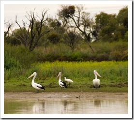 Pelicans alongside the road on the way into Birdsville
