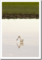 Spoonbill fishing in the floodplains