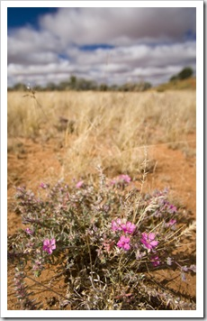 Strzelecki Desert wildflowers