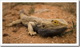 Bearded Dragon alongside the road in the Strzelecki Desert